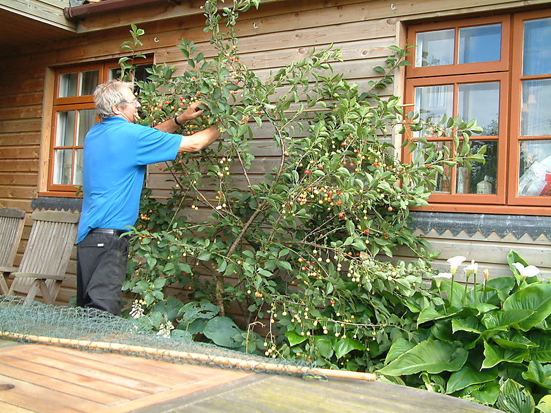 Reg rescuing cherries 12th July 08