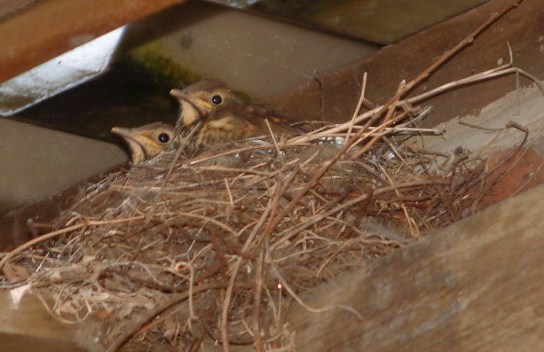 Thrushes in nest