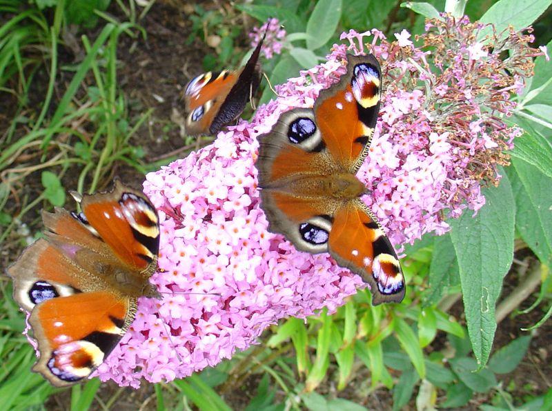 3 butterflies on pink buddlejas