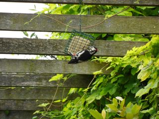 Close-up of Woodpecker on wire basket