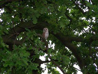 Lincolshire 2012 005 (3) Carol's Barn Owl June 2012