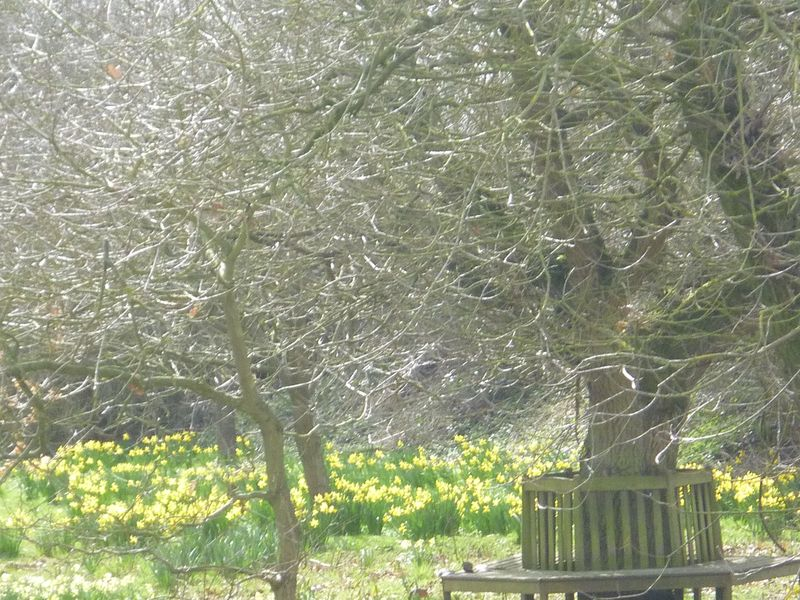 Oak tree seat & daffs March 2015