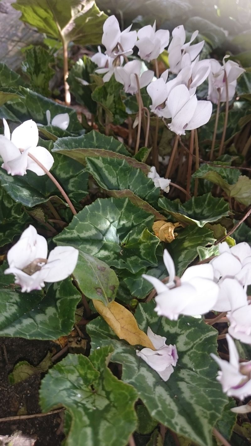 Deb's vertical photo of Cyclamen