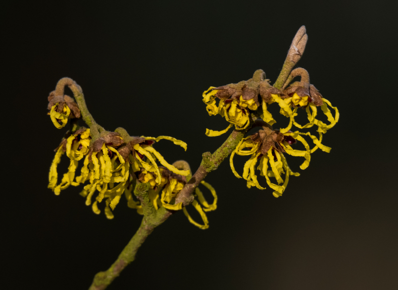 Witch Hazel Yellow