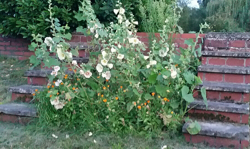 Hollyhocks between steps 20170827