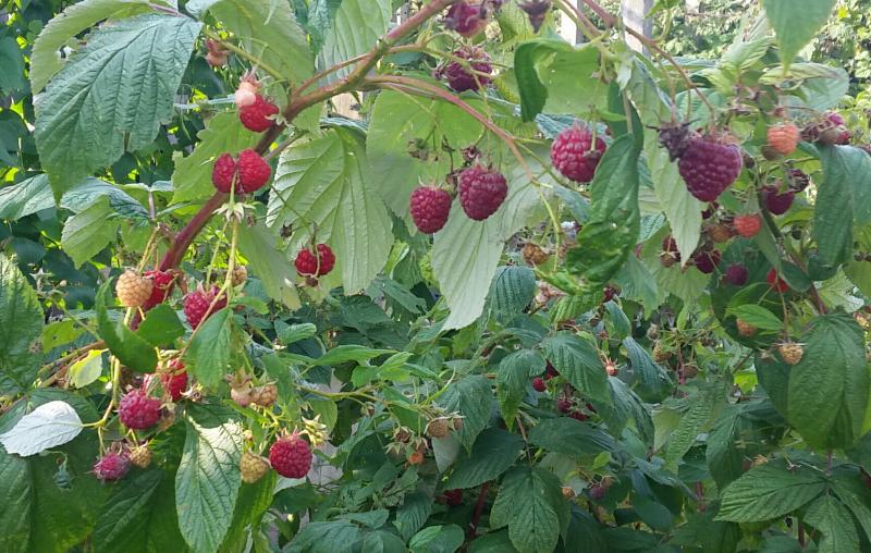 Harvesting Raspberries 20170926