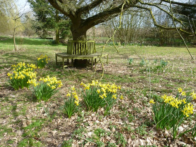 Oak tree seat with forground of daffs March 2015