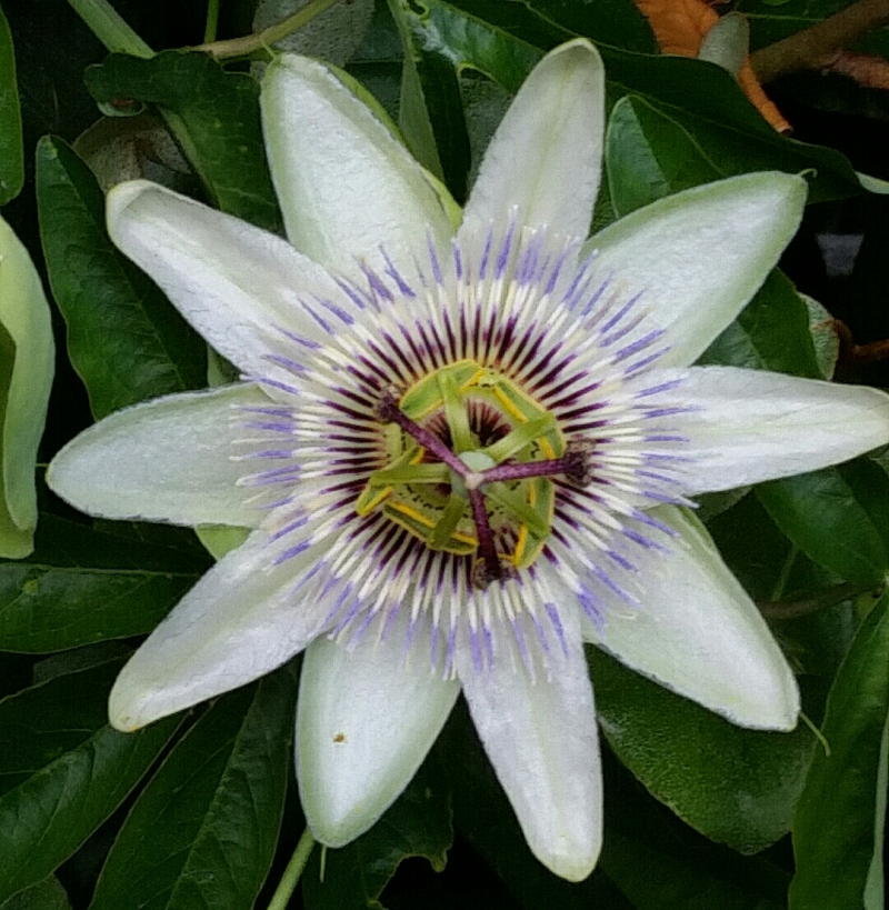 Passion Flower 7th Oct 2016