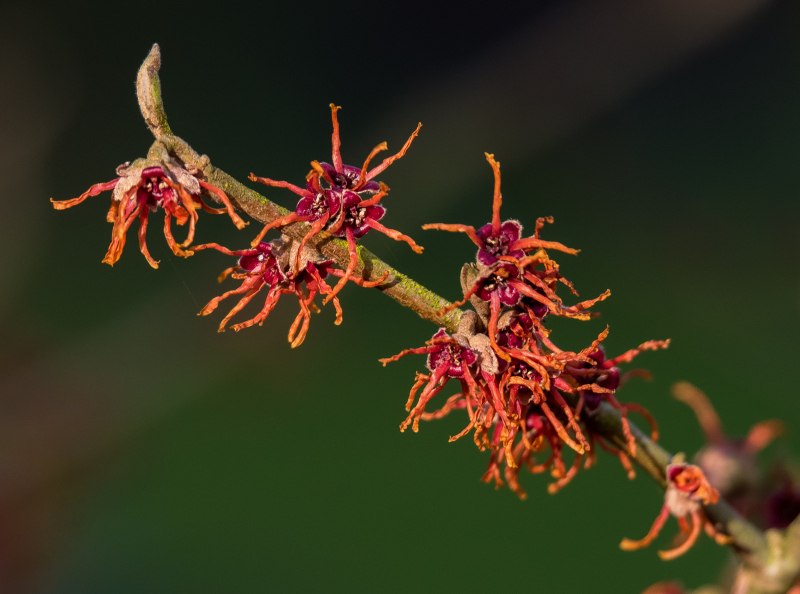Witch Hazel stock