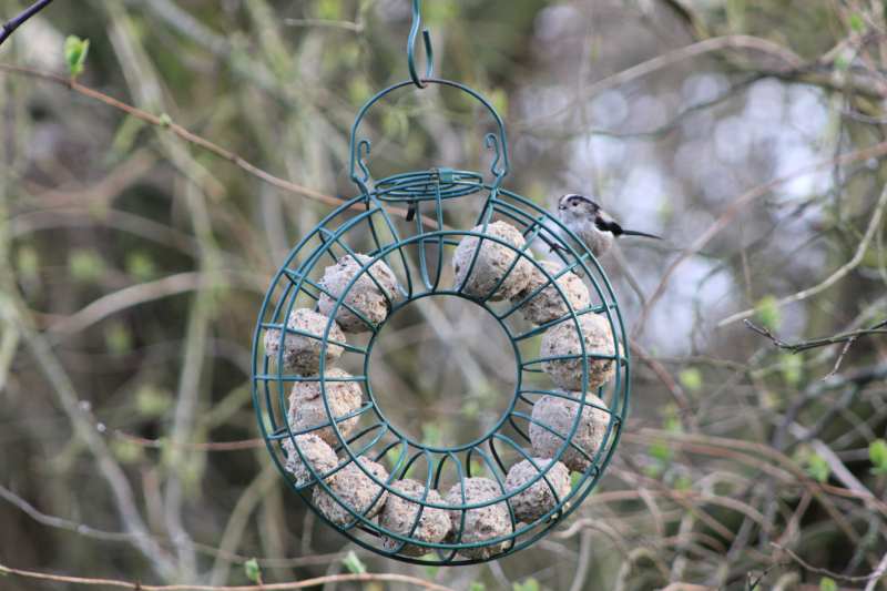 Fat ball ring in apple tree with LTT.