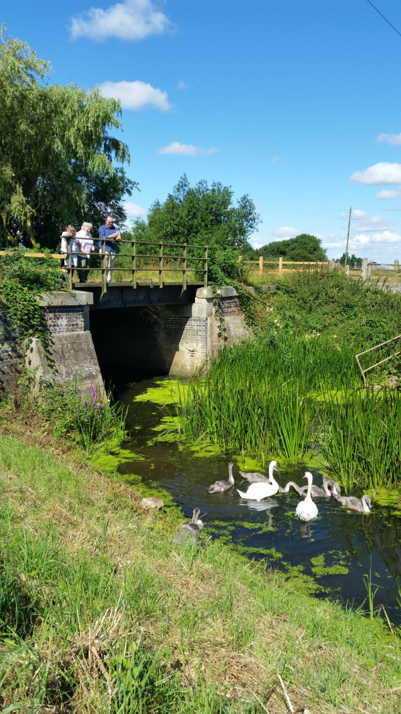 Swan family near bridge