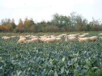 Sheep_in_broccoli_dscf3649